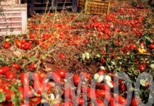 Pomodori nei campi