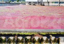 Scafati Depuratore Pomodori